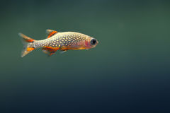 Small rare Aquarium fish. Danio margaritatus. copy space Royalty Free Stock Photo