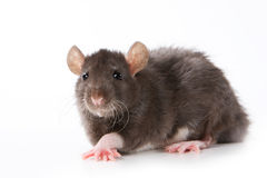 Small rat Royalty Free Stock Photography
