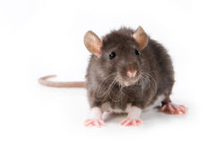 Small rat. On white background Royalty Free Stock Photography