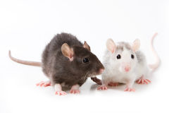 Small rat Royalty Free Stock Photos