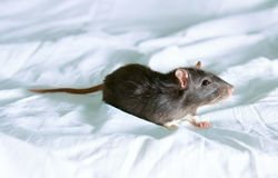 Small Rat Stock Photography