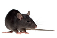 Small rat Royalty Free Stock Image