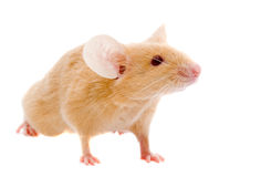 Small  rat. Stock Image