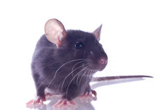 Small rat Royalty Free Stock Photo