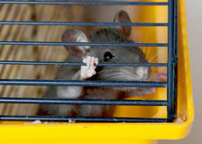 Small rat in a cage Royalty Free Stock Image