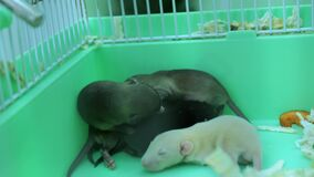 small rat cubs in a cage close-up