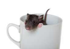 Small rat in a cup Royalty Free Stock Images