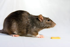 Small Rat and piece of cheese Stock Photo