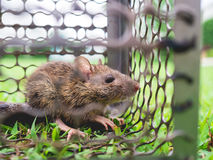 Small rat trapped in a cage. Stock Image