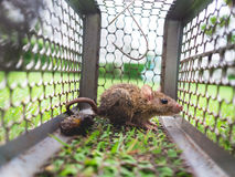 Small rat trapped in a cage. Stock Photo