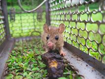 Small rat trapped in a cage. Royalty Free Stock Photography