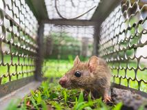 Small rat trapped in a cage. Stock Photos