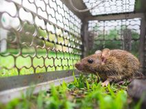 Small rat trapped in a cage. Royalty Free Stock Image