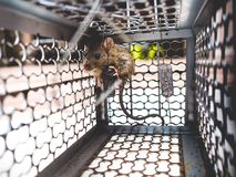 Rat trapped in a cage. Stock Photos