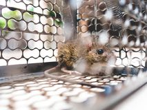 Rat trapped in a cage. Stock Images