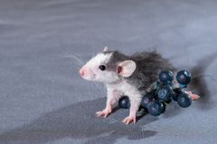 Small rats with a berry Stock Photo