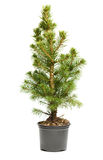 Small, Real Undecorated Bare Christmas Tree In A Pot Royalty Free Stock Photography