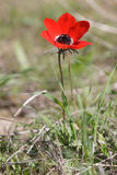 Small red anemone Royalty Free Stock Photo