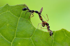 A small and red ant. A industrious ant  is working hard Royalty Free Stock Images