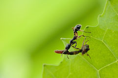 A small and red ant. A industrious ant  is working hard Royalty Free Stock Photo