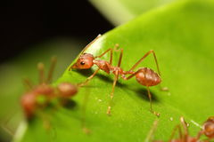 Small red ant working on tree Stock Photos