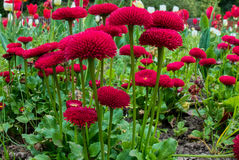 Small Red Bedding Plants Flowering in Roath Park Stock Photos
