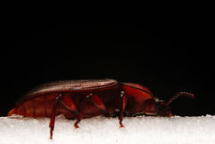 Small red beetle macro little bug Stock Images