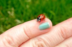 Small red and black ladybug on the finger of person. A small, red and black ladybug on the finger of a person outdoors on a  sunny spring day with green grass Royalty Free Stock Photos