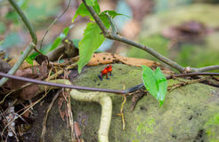 Small red blue frog Royalty Free Stock Image