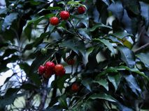 Small Red bright fruits stock photo