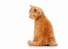 Small red british kitten. On white background Royalty Free Stock Images