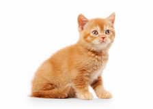 Small red british kitten. On white background Stock Photo
