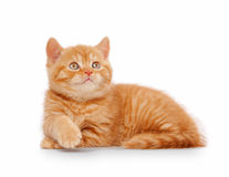 Small red british kitten. On white background Royalty Free Stock Photos