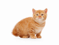Small red british kitten. On white background Royalty Free Stock Photography