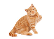 Small red british kitten Stock Photo