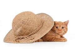 Small red british kitten. On white background Royalty Free Stock Photo