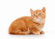 Small red british kitten on white. Background Stock Photos