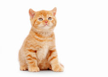 Small red british kitten on white Stock Photos