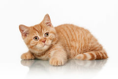Small red british kitten Stock Image