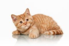 Small red british kitten. On white background Stock Image