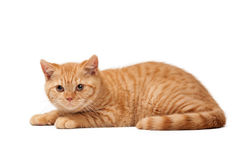 Small red british kitten on white. Background Royalty Free Stock Images