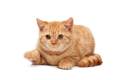 Small red british kitten on white background Royalty Free Stock Photography