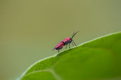 Small red bug on a green leaf  1. Small red and black bug on the edge of a green leaf Royalty Free Stock Photography