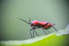 Small red bug on a green leaf  2 Stock Photo