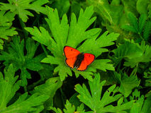 Small red butterfly on grass Royalty Free Stock Image