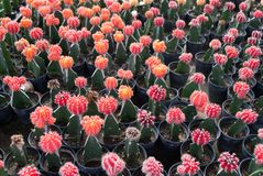 Small red cactus selective focus in flowerpot houseplant. At the farm royalty free stock image
