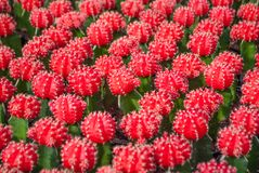 Small red cactus selective focus in flowerpot houseplant. At the farm stock photo