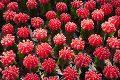 Small red cactus selective focus in flowerpot houseplant. At the farm stock images