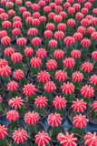 Small red cactus selective focus in flowerpot houseplant. At the farm royalty free stock photography