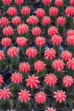 Small red cactus selective focus in flowerpot houseplant. At the farm stock photography